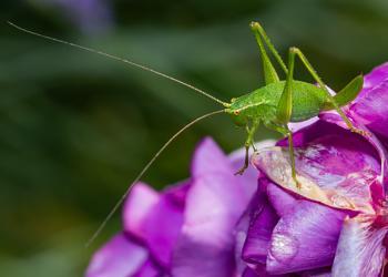 Speckled Bush Cricket II