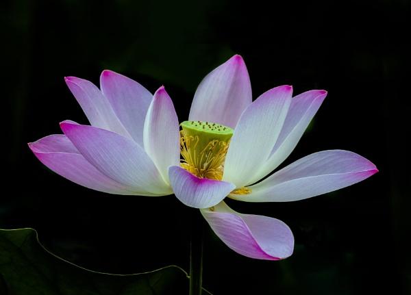 Lotus by TDP43