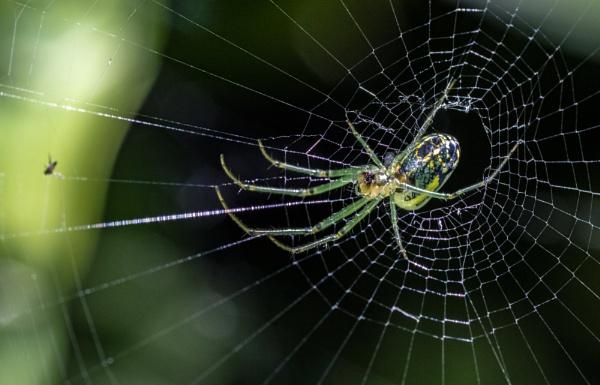Orchard Spider (Leucauge venusta) by TDP43