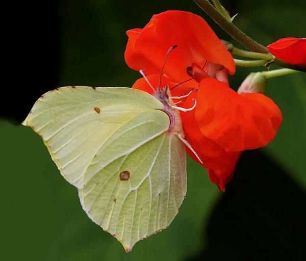 Brimstone Butterfly by pamelajean