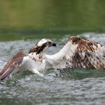 Osprey rising