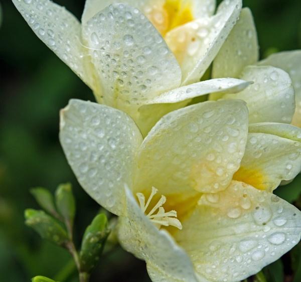 Freesia Rain by LinH
