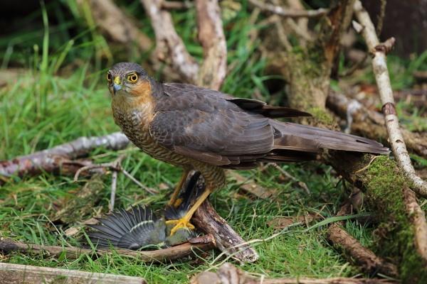 Sparrowhawk by gwood