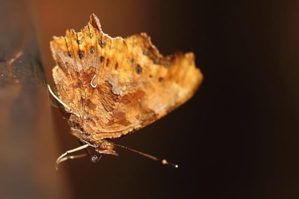 Butterfly by gwood