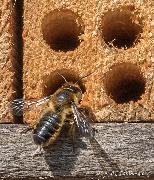 Mason Bee by andybebbs
