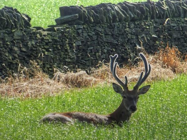 Sunbathing Stag by ianmoorcroft