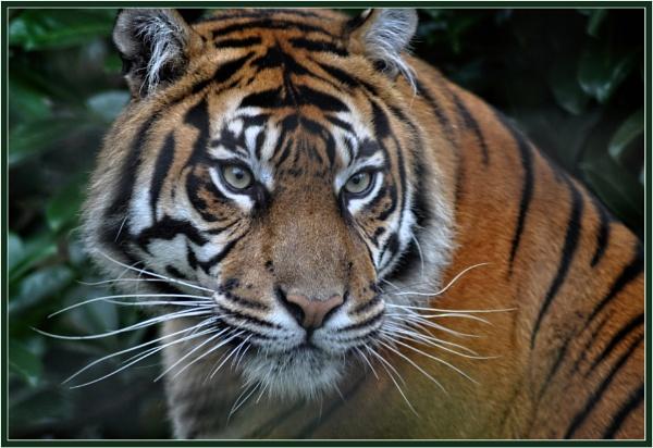Sumatran Tiger at Chester Zoo by PhilT2