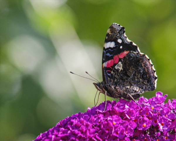 Red Admiral by Alan_Baseley