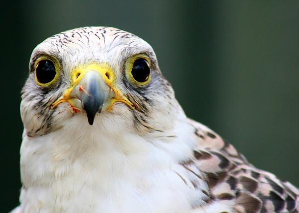 Bird of Prey by lesstow
