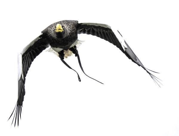 Eagle by CraigWalker