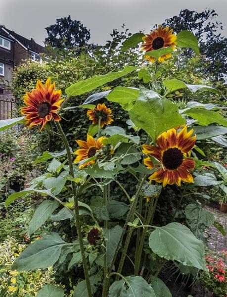 sunflowers by derekp