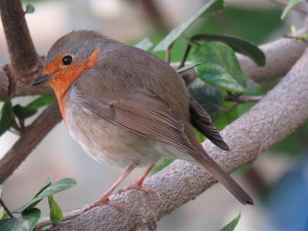 Mr Robin by bulbulov