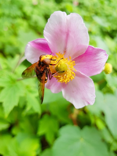 Hoverfly in summer by mohikan22