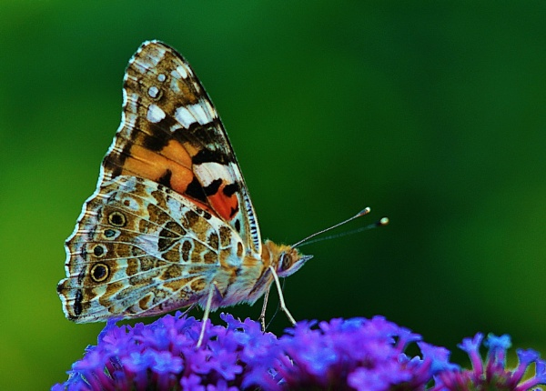 Painted Lady Butterfly by georgiepoolie