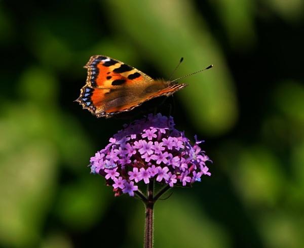 Tortoisesheell Butterfly by georgiepoolie