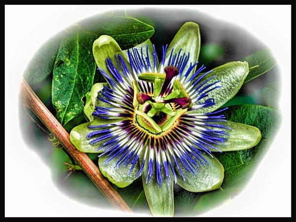 PASSION FLOWER. by kojack