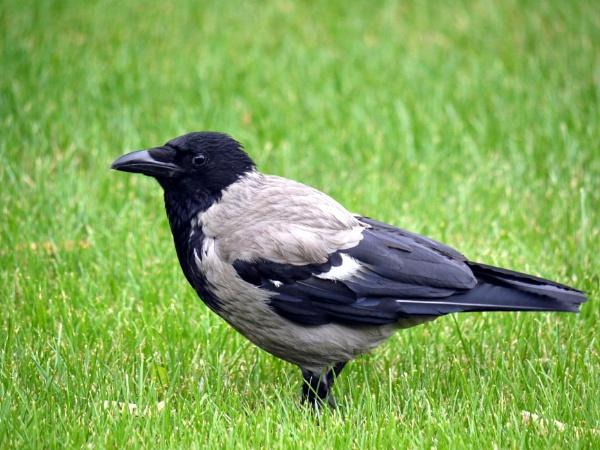 Hooded crow by DerekHollis