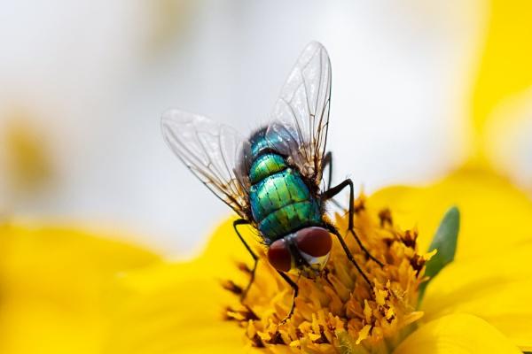 Fly - Greenbottle by Bill_C