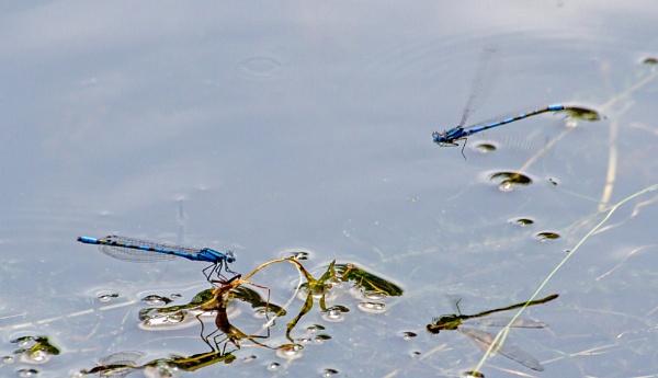 Blue Damselfly by Bill_C