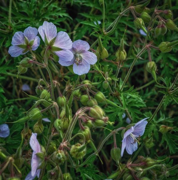 Wild geraniums by BillRookery