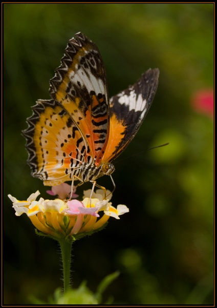 Painted Lady by Howard2