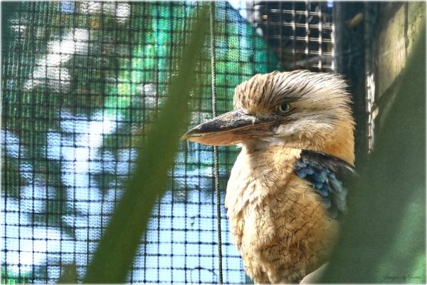 Kookaburras at Calderglen. by Tooma