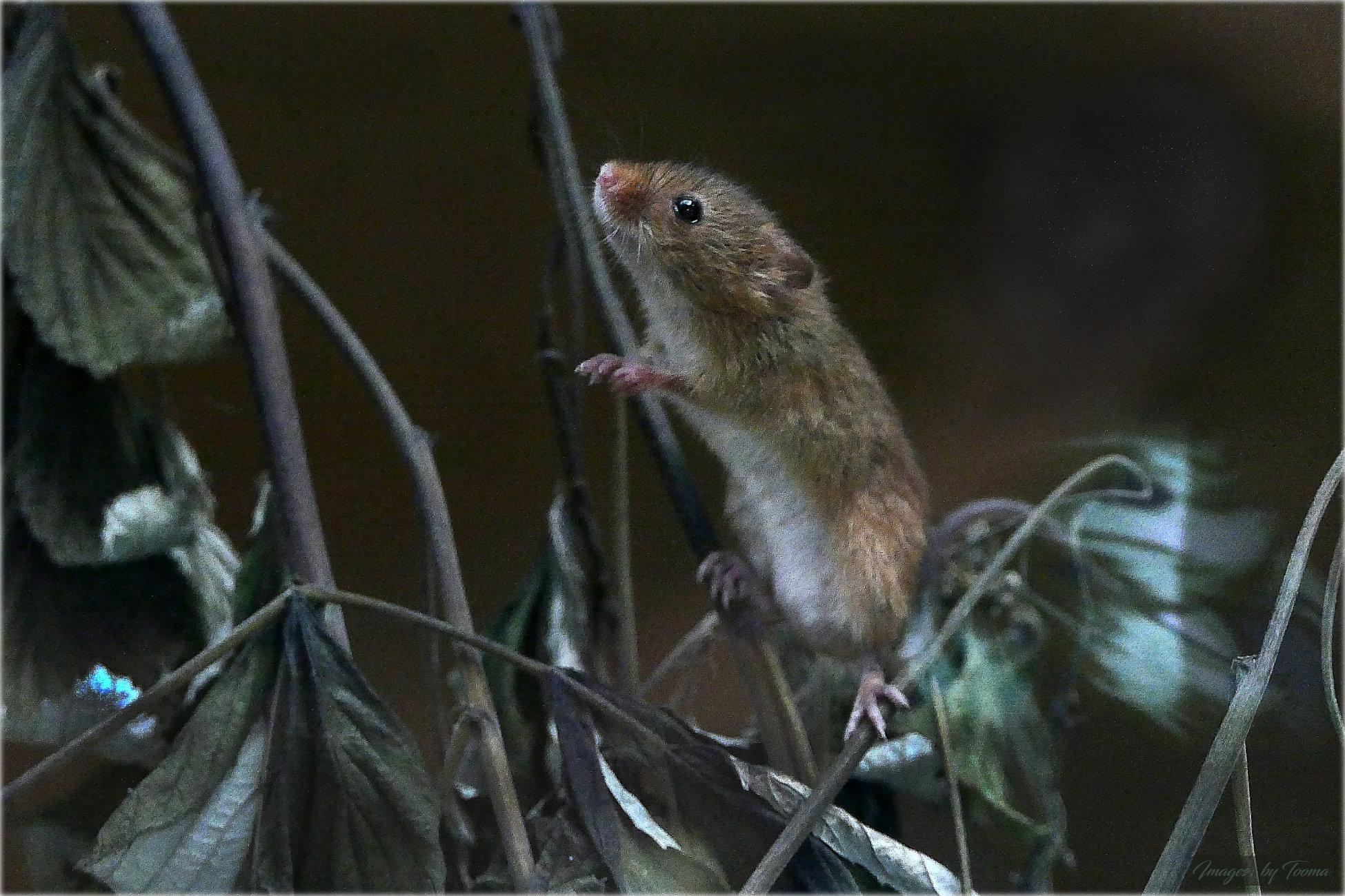 Harvest Mice at Calderglen.