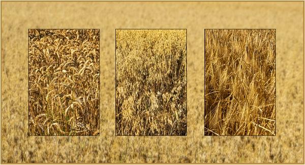 Cereal Crops by AlfieK