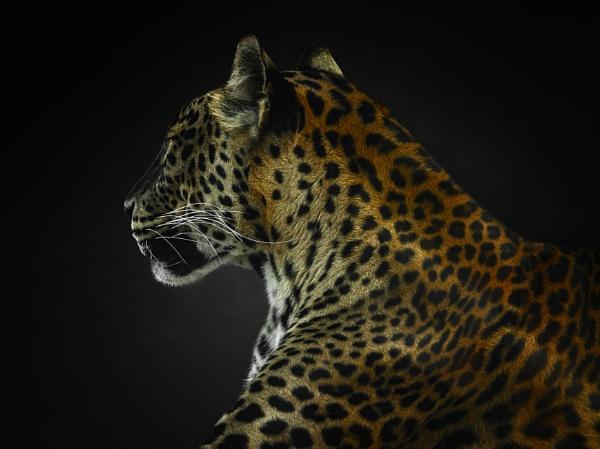 Panthera by Durante
