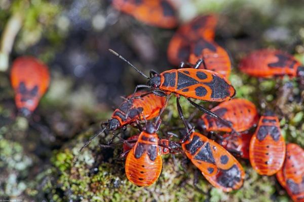 European Firebug (Pyrrhocoris apterus) (3) by LotaLota