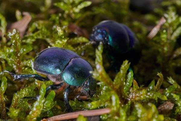 Dor beetle (Anoplotrupes stercorosus) - Miskinis mesvabalis (4) by LotaLota