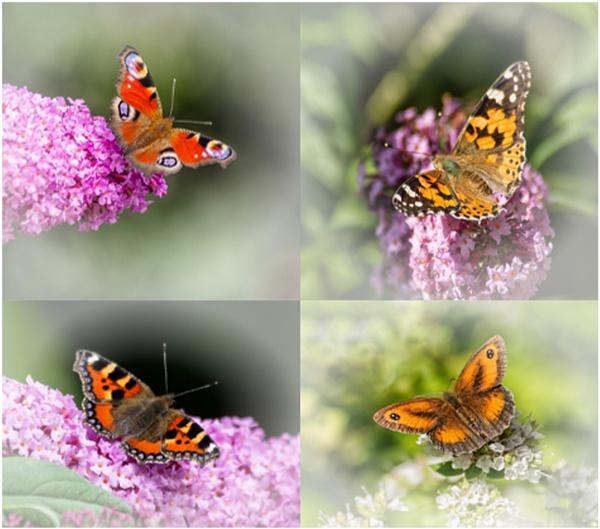 Butterflies by dven