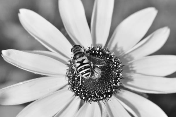 Bee in B&W by Eich