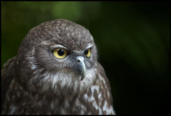 Barking Owl by Peco