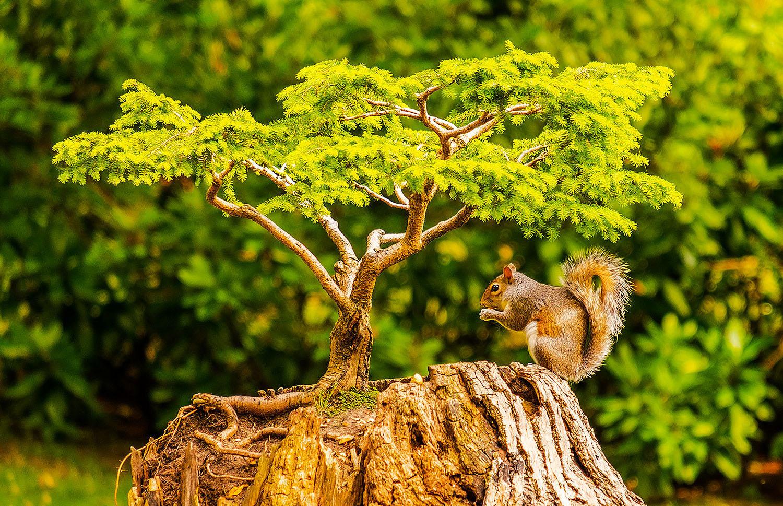 Bonsai Squirrel