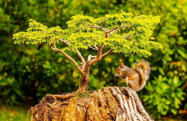 Bonsai Squirrel by martin.w