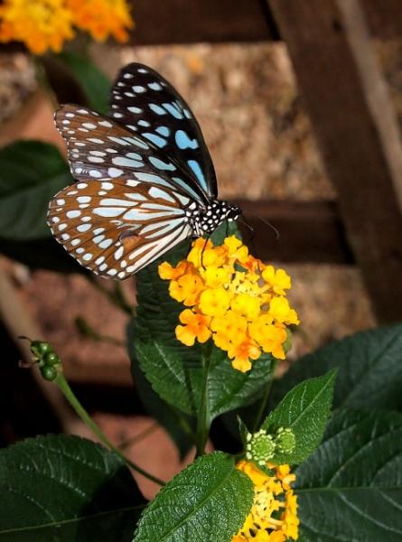 Oriental Blue Tiger by pamelajean