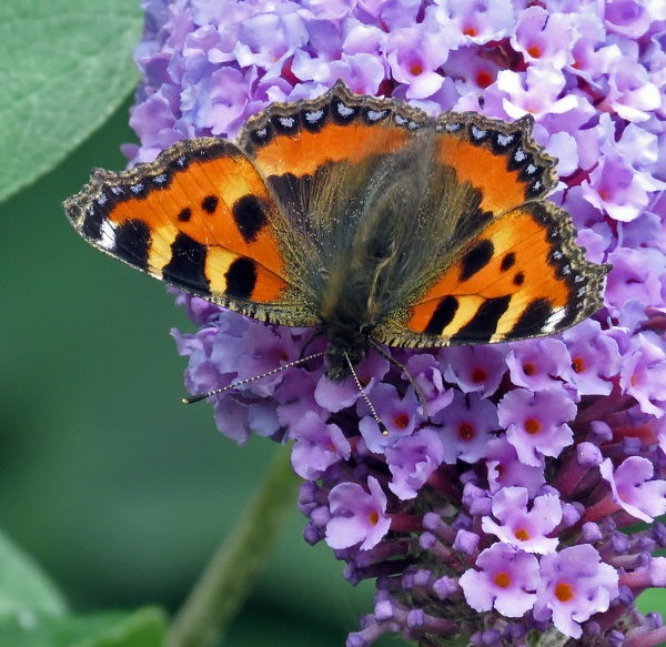 Small Tortoiseshell by KarenFB