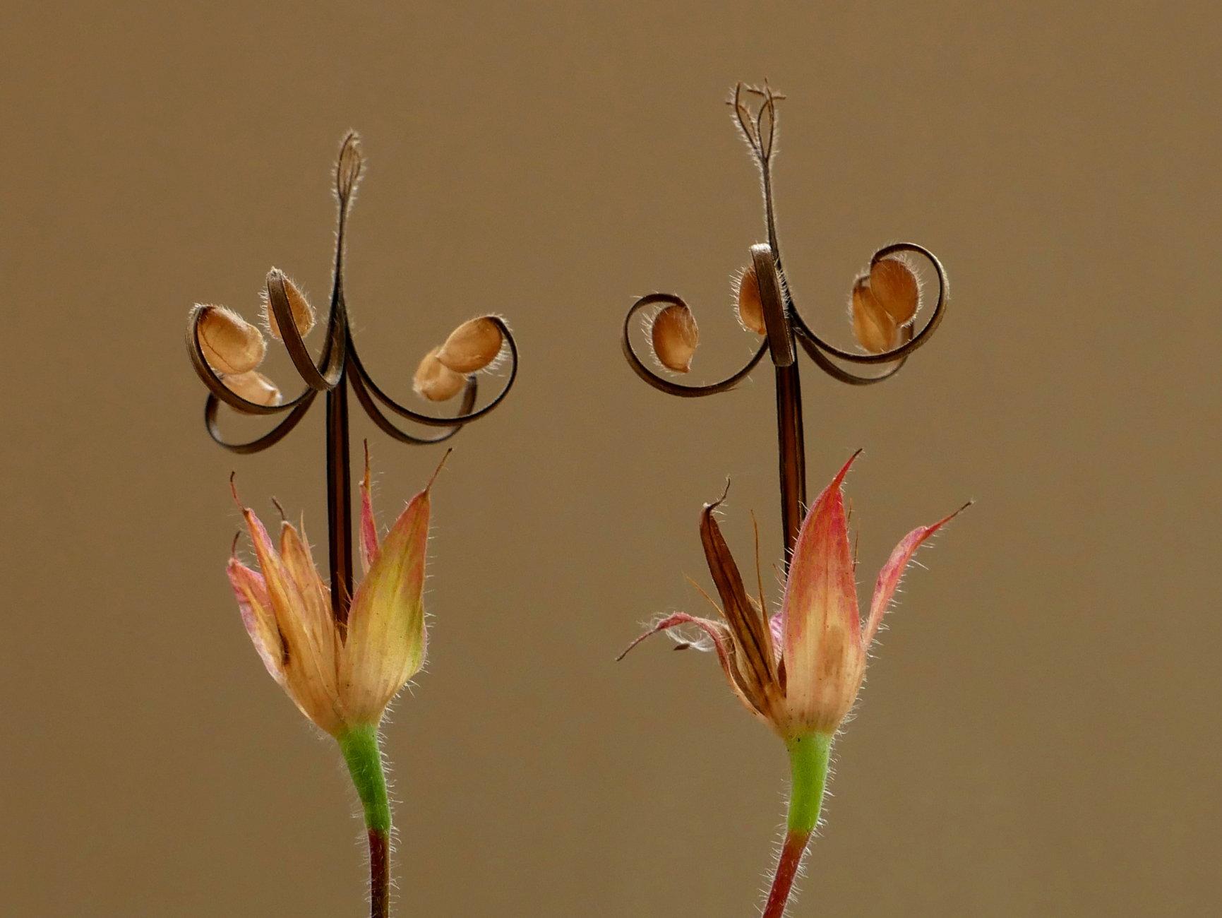 geranium seed heads