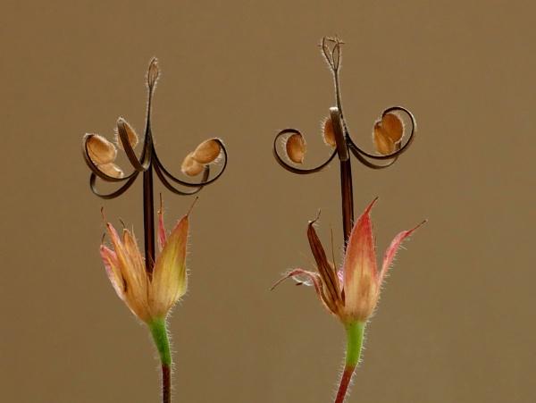 geranium seed heads by stevept