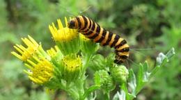 Cinabar Moth Caterpillar