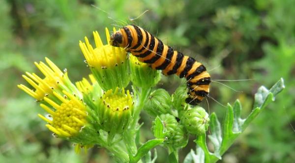 Cinabar Moth Caterpillar by SUE118
