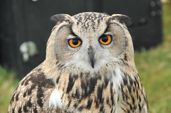 Great Grey Owl by peterthowe