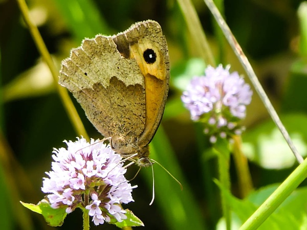 Meadow Brown Butterfly by RH