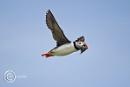 Puffin in Flight with Sandeels by DARPhotography