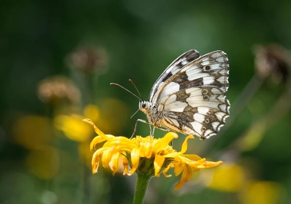 Marbled White by jasonrwl