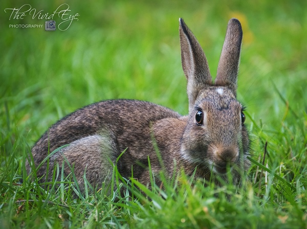 Wild Rabbit by MartinWait