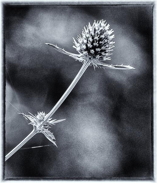 Eryngium in mono by Nikonuser1