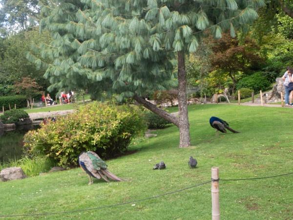 Headless Peacocks! by AgeingDJ