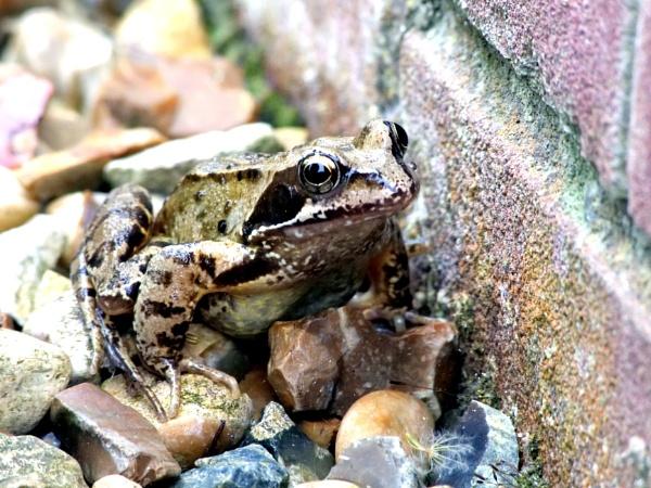 Frog by DerekHollis
